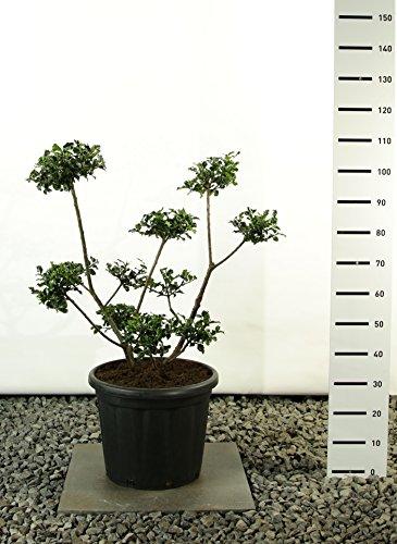 Modernes Formgehölz Stechpalme - Ilex meserveae `Blue Princess´ POM POM - verschiedene Größen (100-120cm - Ø 36cm -20Ltr. - MULTIPLATEAU)