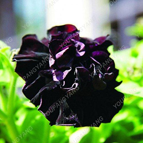 200 pcs/sac double Petunia Graines Balcon Oblique Petunia pot de fleurs Graines Bonsai Pétunia multi-couleurs végétales pour jardin Gris clair