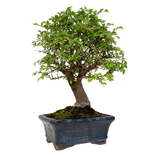 Zelkova Parvifolia 5 Jahre OLMO CHINO