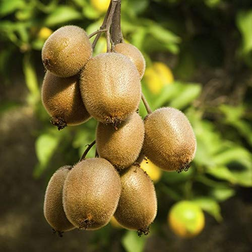Mphmi Plants Kiwi, plant Fruit (Grafted) - Fruit Plants & Tree Outdoor Living Indoor Plants