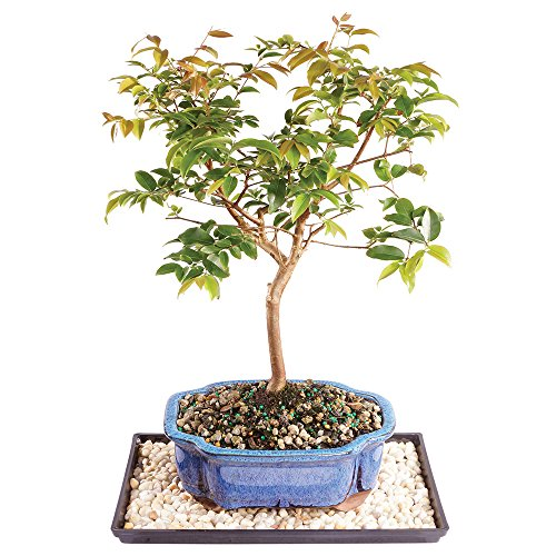 Brussel's Live Jaboticaba Indoor Bonsai Tree - 6 Years Old; 10' to 14' Tall with Decorative Container, Humidity Tray & Deco Rock
