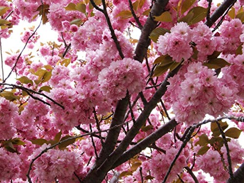 10 Seeds Japanese Cherry Sakura Prunus serrulata Bonsai Ornamental