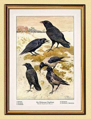 Kunstdruck des Weidmanns Vogelkunde Jagdbild 7 Raben Krähen Wagner Wilderer A3 446 Gerahmt