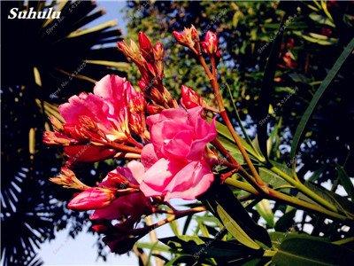 100 Pcs rares Nerium Graines Oleander Plantation Saisons de fleurs en pot Plantes culture facile Chine Graines Balcon Jardin Décoration 9