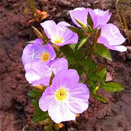 Shopvise Garden Primrose Graines 100pcs / Sac de fleur Pot Graines Tohum Belle semences exotiques Semillas De Flores: Gris clair