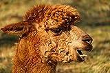 N / A Carteles e Impresiones de Pintura de Pared de Animales sobre Lienzo Imágenes de Alpaca utilizadas para Sala de Estar Decoración del hogar Azul Marino sin Marco 70x100cm