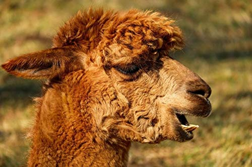 N / A Carteles e Impresiones de Animales en Lienzo Cuadros de Alpaca utilizados para la Sala de Estar Decoración del hogar Azul Marino sin Marco 50x75 cm
