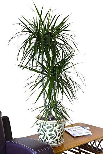 Plante d'intérieur - Plante pour la maison ou le bureau - Dracaena marginata - Dragonnier de Madagascar, hauteur 80cm