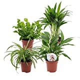set di 4 piante depurative   chlorophytum, areca, spathiphyllum, nephrolepis   piante tropicali da interno   altezza 25-30 cm   vasi Ø 12 cm
