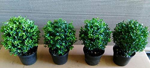 4 Ilex crenata Glorie Gem, Kugel, Durchmesser: 20-25 cm, alternative Buchsbaum + Dünger