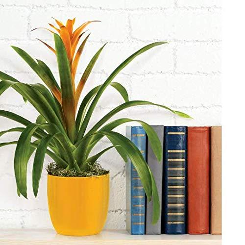"AMERICAN PLANT EXCHANGE Bromeliad Plant Live Gorgeous Guzmania Indoor Houseplant, 6"" Potted, Stunning Colors"