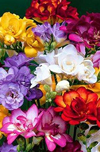 200 Bulbes de Freesia (à fleurs doubles) en mélange - Livraison gratuite