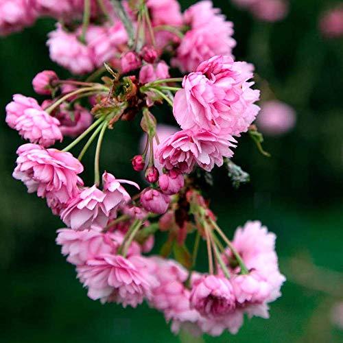 Prunus 'Kiku-Shidare Zakura' | Cheals Weeping Cherry | Garden Tree | 5-6ft