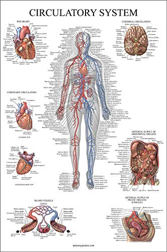 Circulatory System Anatomical Chart - Vascular Anatomy Poster - Double Sided - (18 x 27)