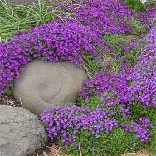 Aubrieta Lilac Purple Rock Cress Flower Seeds / Perennial tyn3sw (50+ Seeds)