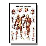 Póster de anatomía del Sistema Muscular Cuadro de anatomía Muscular Cuerpo Humano Arte Educativo de la Pared Poster de anatomía Humana Decoracion de Oficina médica 40x60cmx1 Sin Marco-A1