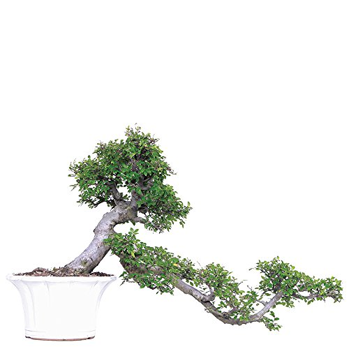 Brussel's Live Chinese Elm Specimen Outdoor Bonsai Tree - 30 Years Old; 36' Tall with Decorative Container