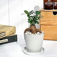 観葉植物 ガジュマル 3.5号鉢 受け皿付き 育て方説明書付き Ficus microcarpa フィカス ミクロカルパ