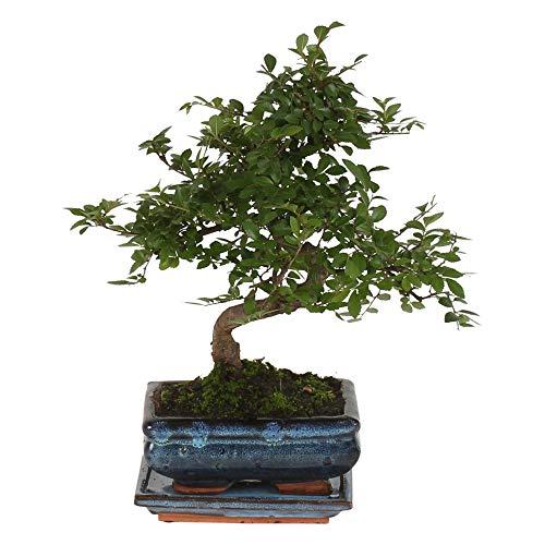Zelkova serrata | Japanische Zelkove | Bonsai Baum inkl Ziertopf Keramik | Höhe 20-25cm | Topf-Ø 15x8cm