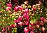 Pernettya mucronata - Torfmyrte - Geschlecht männliche Pflanze