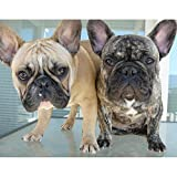 5D Diamond Painting Kits for Adults, Kids. Home Decoration, Room, Office, Gift for Him Her Two French Bulldog 15.7x11.8in Pack by Cenda