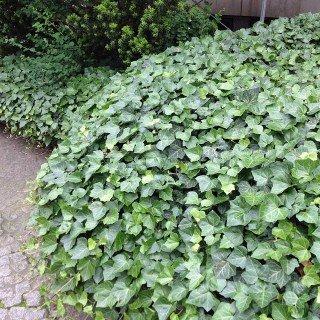Efeu 'Hibernica' - immergrüner, schnellwachsender Bodendecker