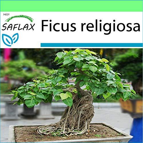 SAFLAX - Higuera sagrada - 100 semillas - Ficus religiosa