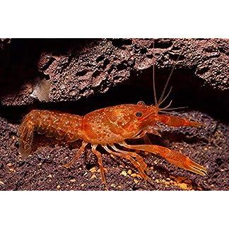 Garnelen Tom Oranger Zwergflußkrebs - CPO (DNZ) - Paar (Männchen & Weibchen)