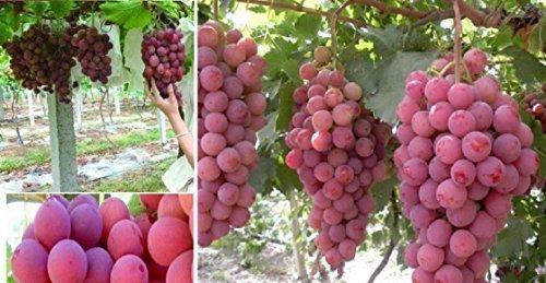 10x F1 Géant Rouge RAISINS GRAINES FRUITS ROUGE JARDIN raisin Plant semences #344