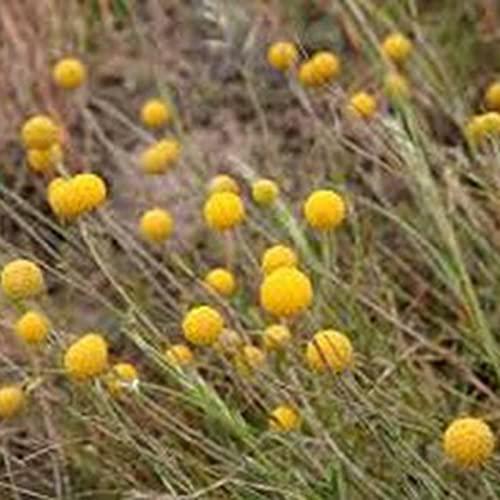 TOYHEART 100 Stück Premium-Blumensamen, Craspedia Globosa-Samen Natürliche Produktive Jährliche Zierblumen-Bonsai-Sämlinge Für Den Garten Gelb