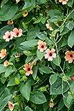 Black Eyed Susan Vine Seeds Thunbergia Alata Flower (200 Seeds) -African Sunset