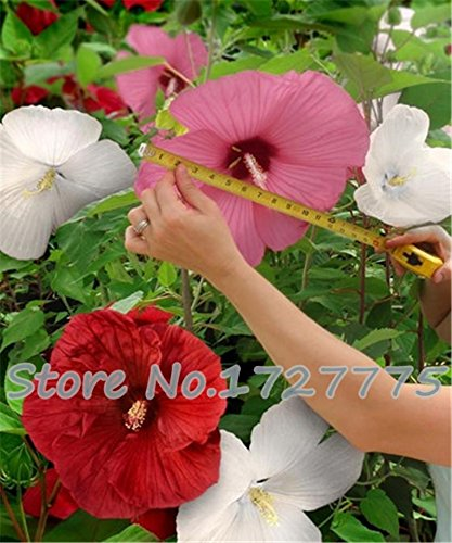 100 géant Fleur d'hibiscus Graines Hardy, mélange Couleur, DIY Home Garden en pot ou cour Fleur Plante,, Multicolore, As Show in Description