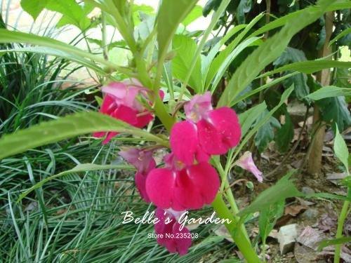 100 pcs / sac de graines de Balsamine, belle plante de fleurs Accueil Jardin Fleurs en pot semences intérieur Bonsai Graines 7