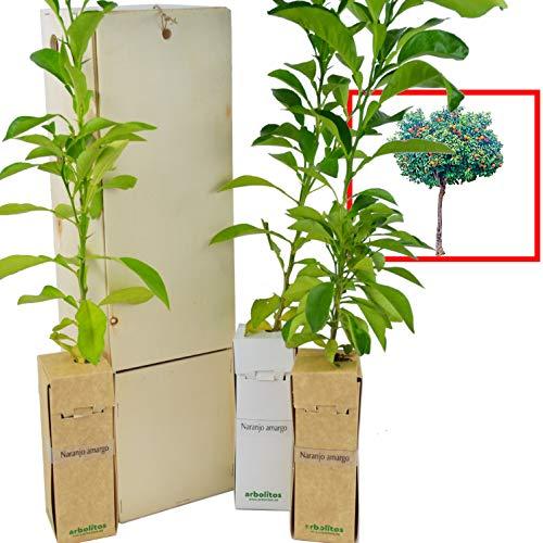 Naranjo amargo. Arbolito de pequeño tamaño en caja de madera. Alveolo forestal de naranjo amargo. (3)