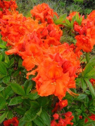 kupferrot blühende Garten Azalee Rhododendron luteum Gibraltar 40-50 cm hoch im 5 Liter Pflanzcontainer