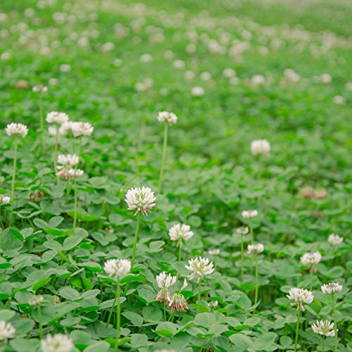 Outsidepride White Dutch Clover Seed:...