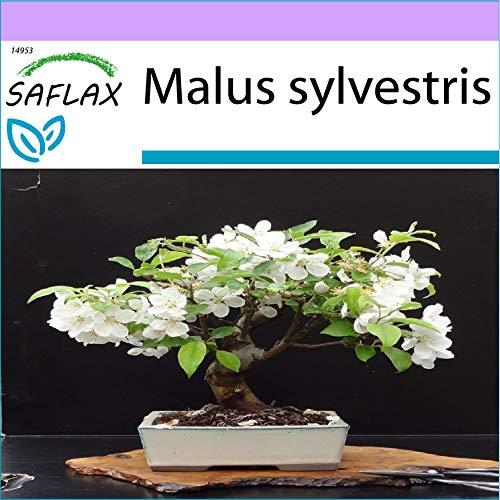 SAFLAX - Manzano silvestre - 30 semillas - Malus sylvestris