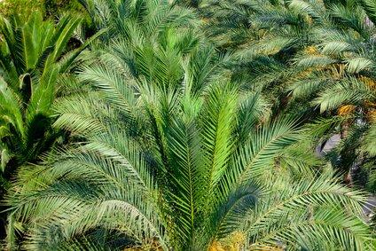 Zwergdattelpalme Phoenix robelenii 5 Samen