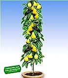 BALDUR Garten Säulen-Birnen 'Doyenné du Comice', 1 Pflanze, Pyrus communis Birnbaum