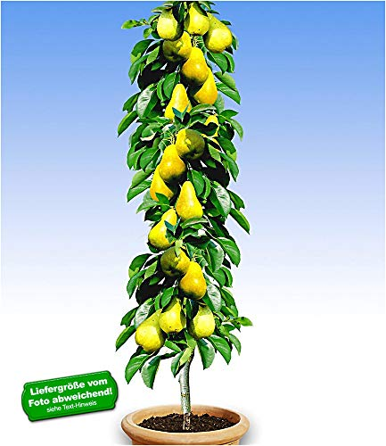 BALDUR-Garten Säulen-Birnen 'Doyenné du Comice', 1 Pflanze, Pyrus communis Birnbaum
