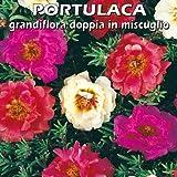 PORTULACA grandiflora doppia in miscuglio (SEMI)