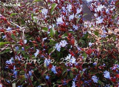 Belle Bonsai Blanc Saxifraga « Neige de printemps » Graines de fleurs vivaces De jardin les plus populaires Nature Plantes à effet de serre 120 Pcs 13