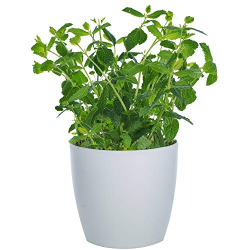 Herb Plant Collection | Grow Your Own Herbs | Premium Garden Kitchen Plants (Moroccan Mint)