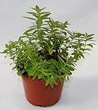 Sin marca Hierba Luisa (Maceta 13 cm Ø) - Planta Viva - Planta aromatica
