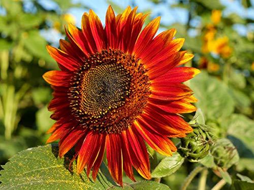 100 rote Sonnenblumen Samen der Sorte Abendsonnenblume, Sonnenblumensamen mit rot gelben Blüten, Saat Aufzucht von Sonnenblumen Pflanzen (Helianthus annuus), Blumensamen Staude