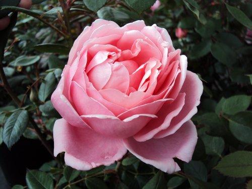 Englische Rose Brother Cadfael ® Ausglobe ® Containerrosen im großen 7,5 Liter Topf