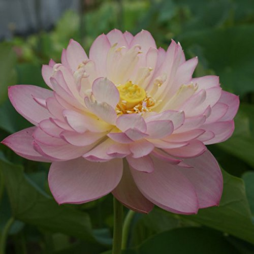 花はす[八重咲き系]:天嬌4.5号ポット[小さめの容器でも栽培できる手乗り蓮・花蓮]