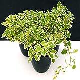 INCENSO, PLECTRANTHUS IN VASO 14cm, 3 PIANTE, piante vere