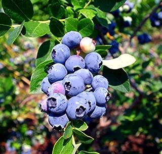 Blueberry Plants