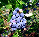 Blueberry Plants'Emerald' Southern Highbush Includes (4) Four Plants with 4 Hello Organics Tags